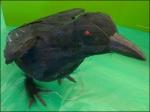 Crow Attention Compeller Aux