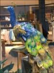 Peacock Window Dressing Aux