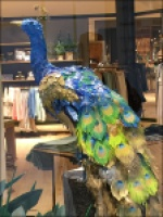 Peacock Preens Store Window Dressing