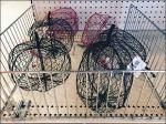 Open Wire Fencing for Chicken Wire Pumpkins