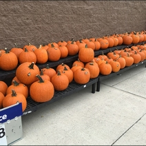 halloween-pumpkin-windrows-3